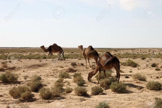 camel tozeur tunisia